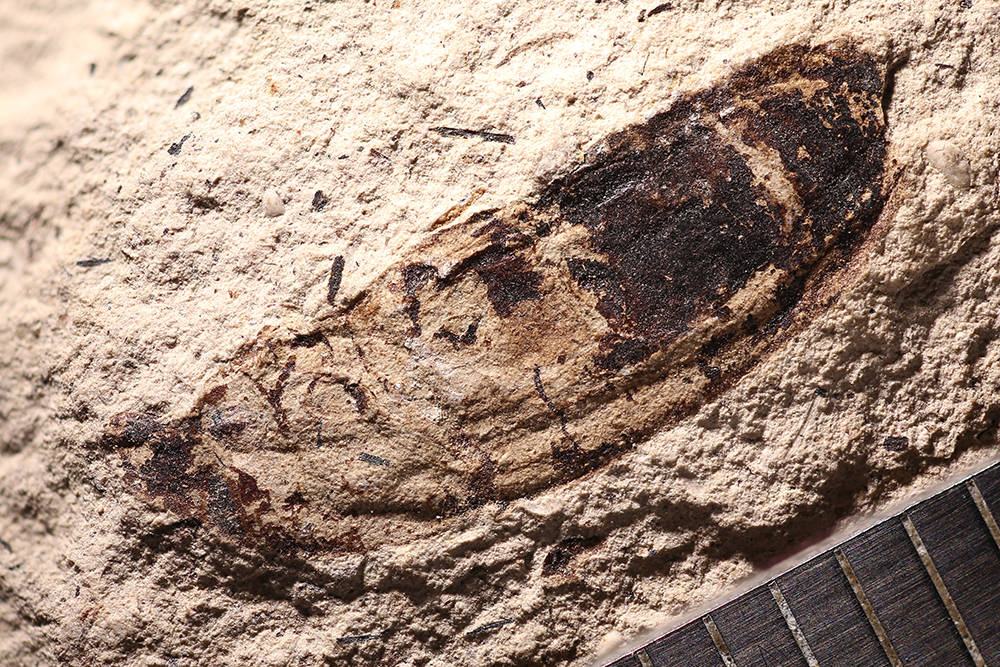 http://mczbase.mcz.harvard.edu/specimen_images/entomology/paleo/large/PALE-14409_Cleonus_sp_2.jpg