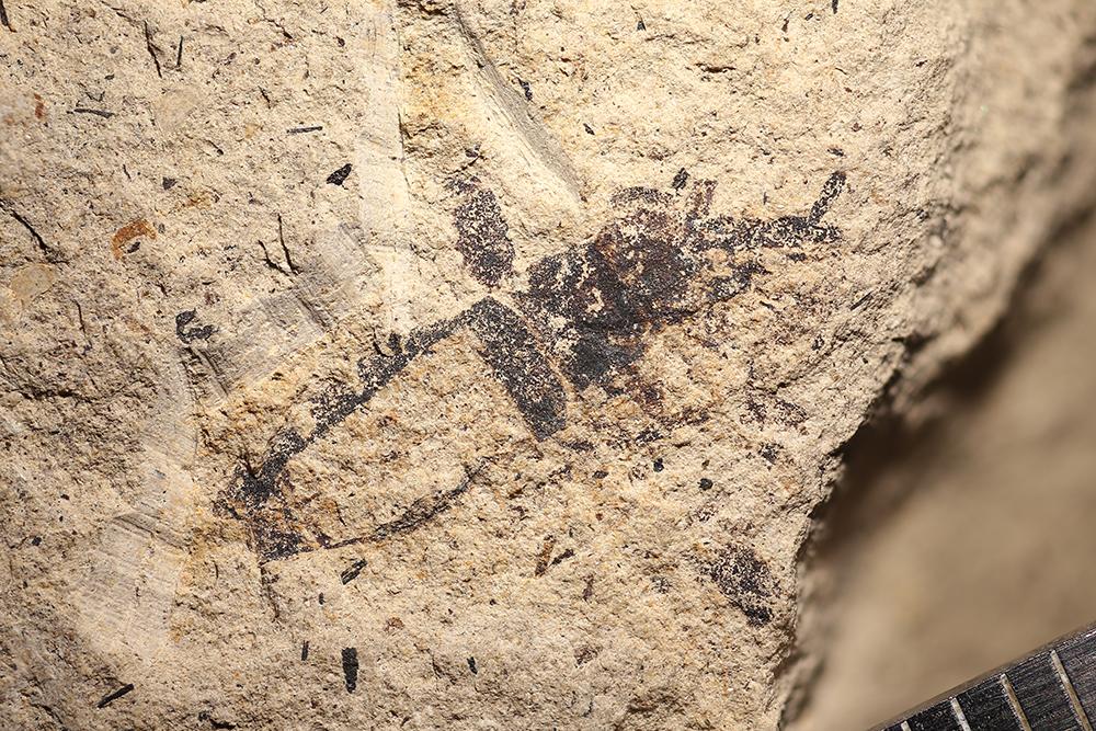 http://mczbase.mcz.harvard.edu/specimen_images/entomology/paleo/large/PALE-14421_Harpactor_maculipes.jpg