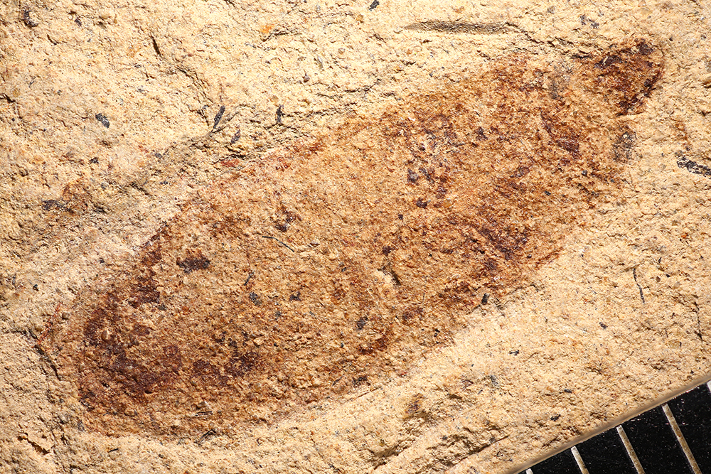 http://mczbase.mcz.harvard.edu/specimen_images/entomology/paleo/large/PALE-14427_Cleonus_sp.jpg
