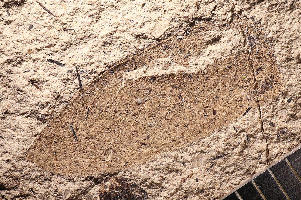 http://mczbase.mcz.harvard.edu/specimen_images/entomology/paleo/large/PALE-14429_Coleoptera.jpg
