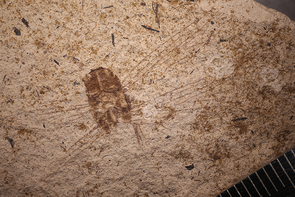 http://mczbase.mcz.harvard.edu/specimen_images/entomology/paleo/large/PALE-14595_Libellula_sp.jpg