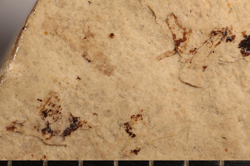 http://mczbase.mcz.harvard.edu/specimen_images/entomology/paleo/large/PALE-14779_Arthropoda.jpg