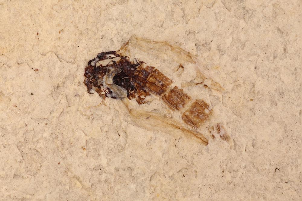 http://mczbase.mcz.harvard.edu/specimen_images/entomology/paleo/large/PALE-14780_Nematocera.jpg