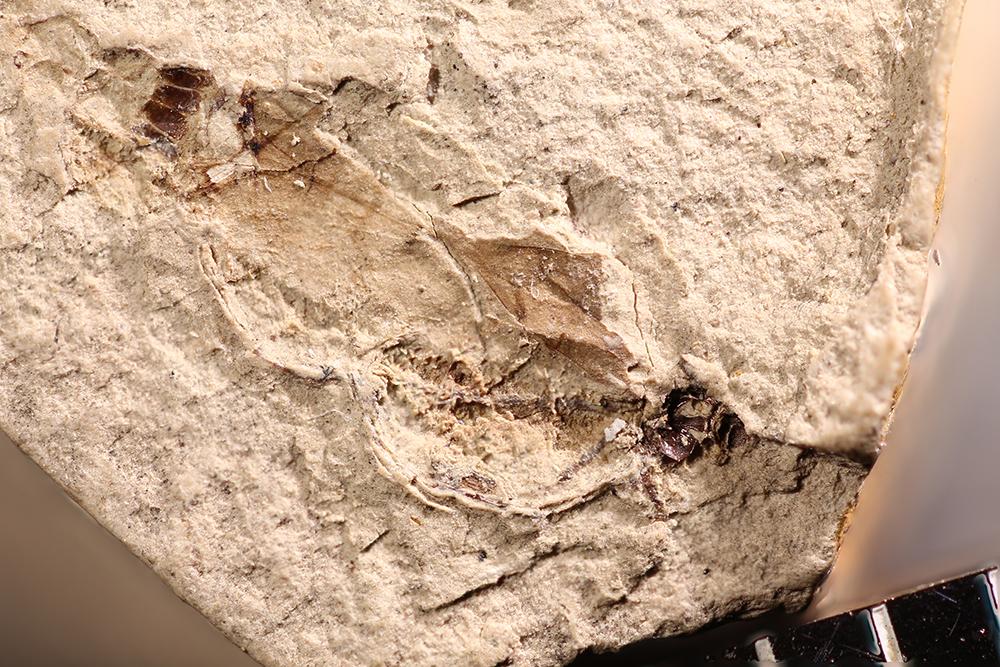 http://mczbase.mcz.harvard.edu/specimen_images/entomology/paleo/large/PALE-14782_Pterygota.jpg