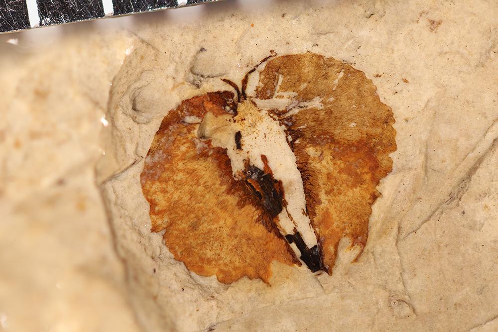 http://mczbase.mcz.harvard.edu/specimen_images/entomology/paleo/large/PALE-14786_Plantae_qm.jpg