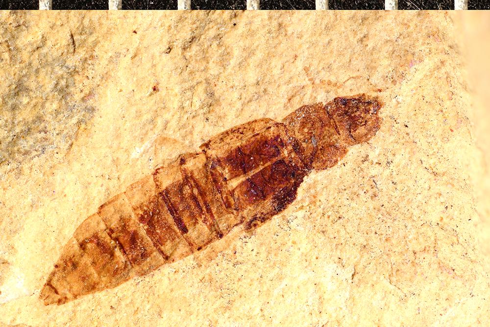 Image of Bledius faecorum