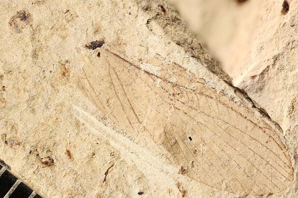 http://mczbase.mcz.harvard.edu/specimen_images/entomology/paleo/large/PALE-16867_Grylloblattodea.jpg