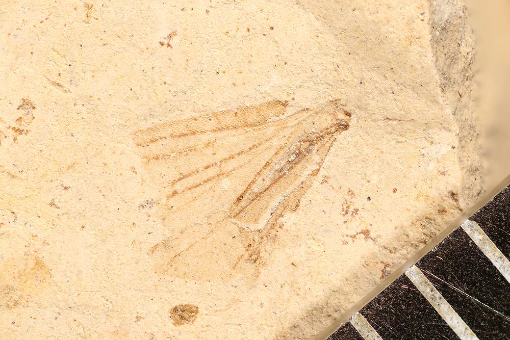 http://mczbase.mcz.harvard.edu/specimen_images/entomology/paleo/large/PALE-16870_Grylloblattodea_qm.jpg