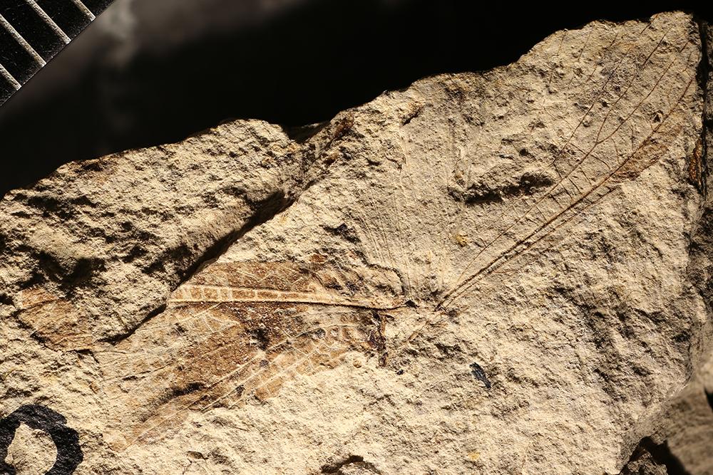 http://mczbase.mcz.harvard.edu/specimen_images/entomology/paleo/large/PALE-16960_Grylloblattodea.jpg
