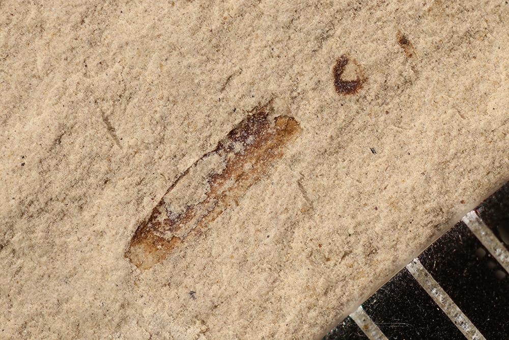 http://mczbase.mcz.harvard.edu/specimen_images/entomology/paleo/large/PALE-16966_Arthropoda.jpg