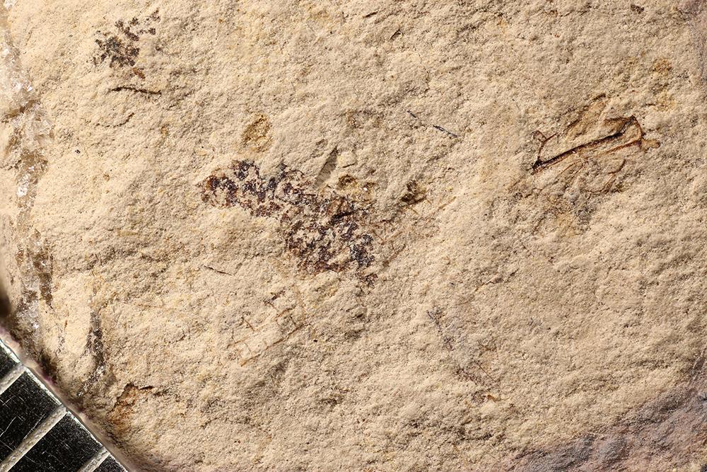 http://mczbase.mcz.harvard.edu/specimen_images/entomology/paleo/large/PALE-17066_Ephemeroptera.jpg