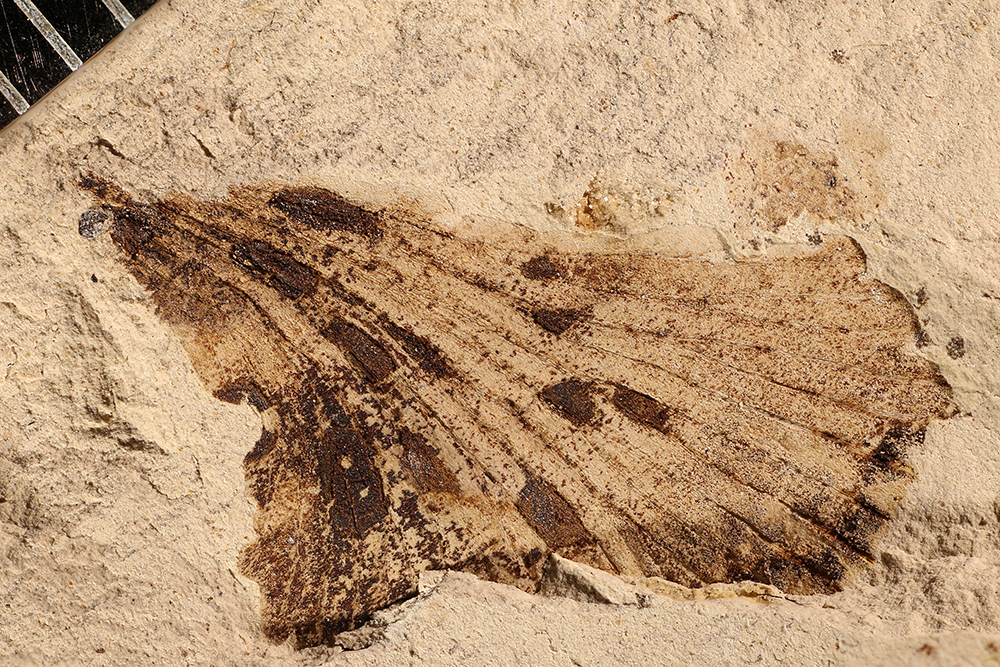 http://mczbase.mcz.harvard.edu/specimen_images/entomology/paleo/large/PALE-17074_Plantae.jpg