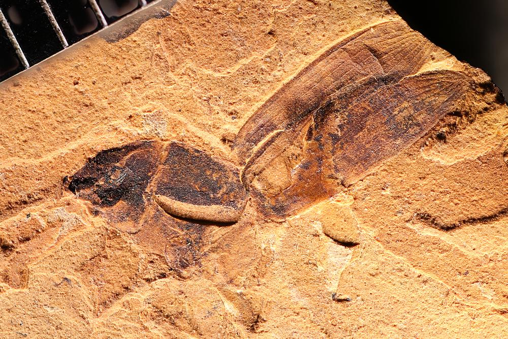 http://mczbase.mcz.harvard.edu/specimen_images/entomology/paleo/large/PALE-1715_Harpalus_abolitus_type.jpg