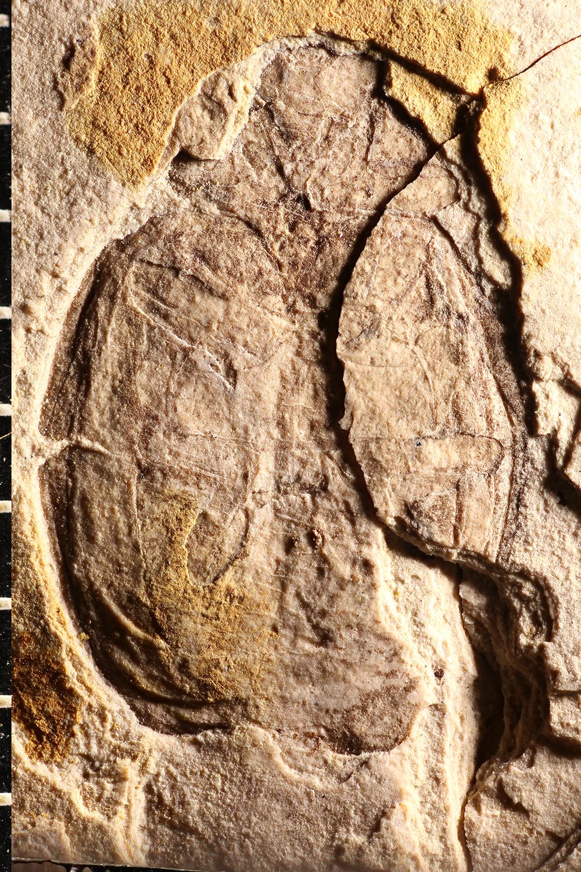http://mczbase.mcz.harvard.edu/specimen_images/entomology/paleo/large/PALE-1719_Coccinella_fossilis_type_1.jpg