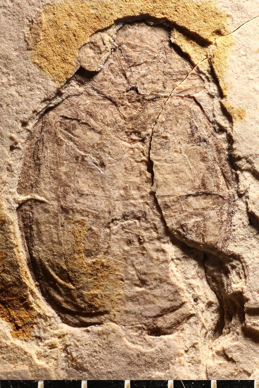 http://mczbase.mcz.harvard.edu/specimen_images/entomology/paleo/large/PALE-1719_Coccinella_fossilis_type_2.jpg