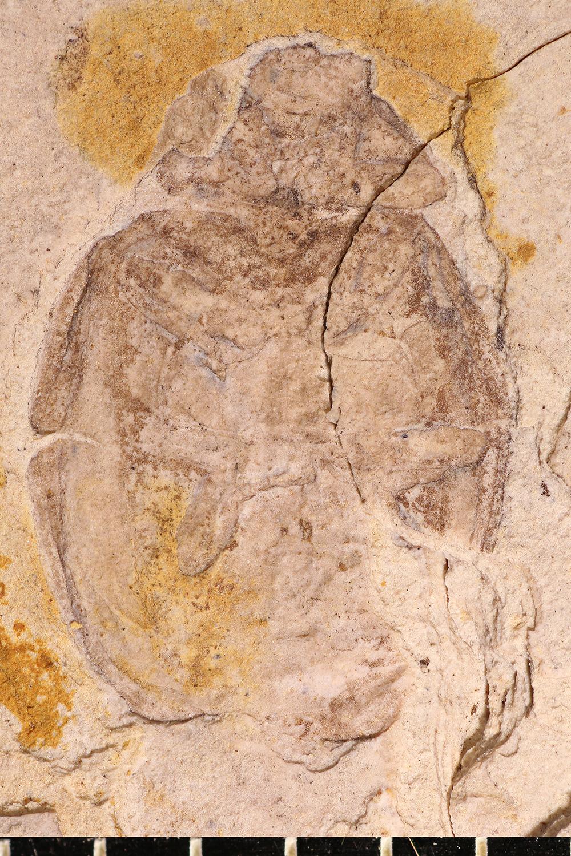 http://mczbase.mcz.harvard.edu/specimen_images/entomology/paleo/large/PALE-1719_Coccinella_fossilis_type_3.jpg