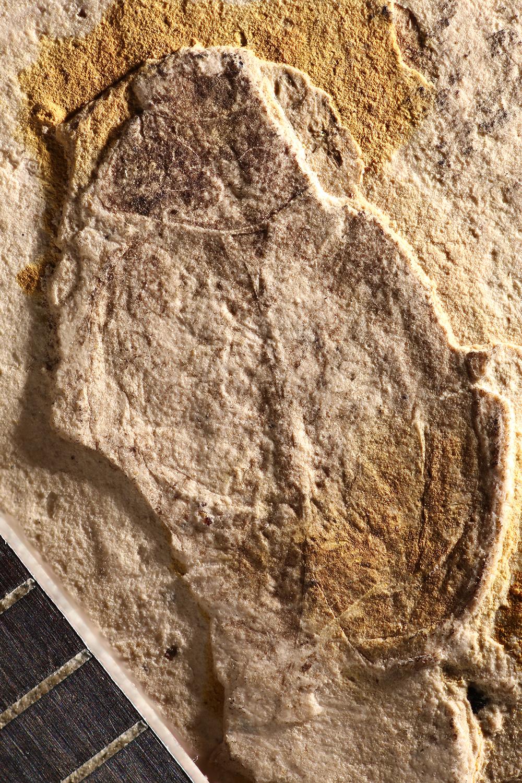 http://mczbase.mcz.harvard.edu/specimen_images/entomology/paleo/large/PALE-1720_Coccinella_fossilis_type.jpg