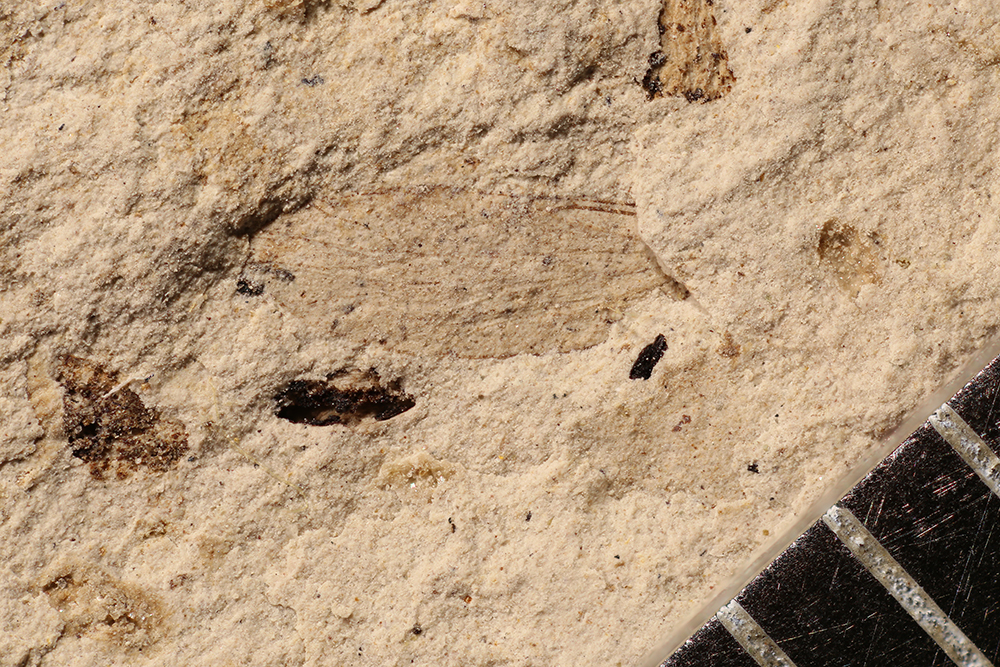 http://mczbase.mcz.harvard.edu/specimen_images/entomology/paleo/large/PALE-17217_Psocoptera.jpg