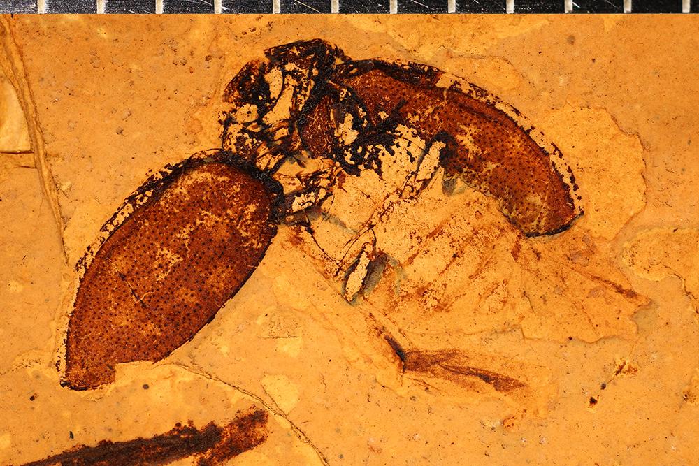 http://mczbase.mcz.harvard.edu/specimen_images/entomology/paleo/large/PALE-1722_Coccinella_krantzi_type_3.jpg
