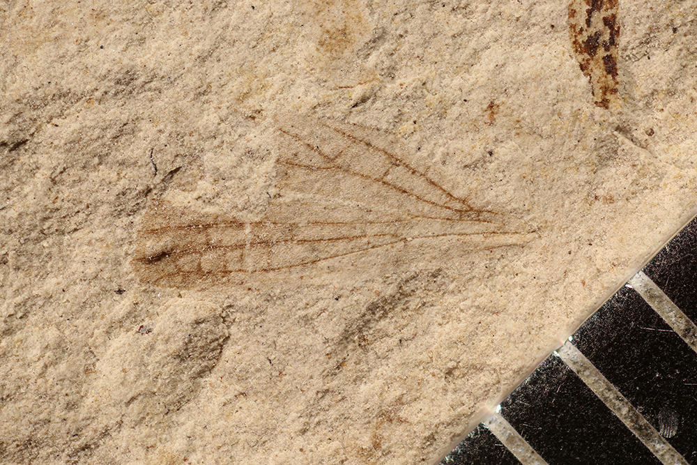 http://mczbase.mcz.harvard.edu/specimen_images/entomology/paleo/large/PALE-17252_Artinska_sp.jpg