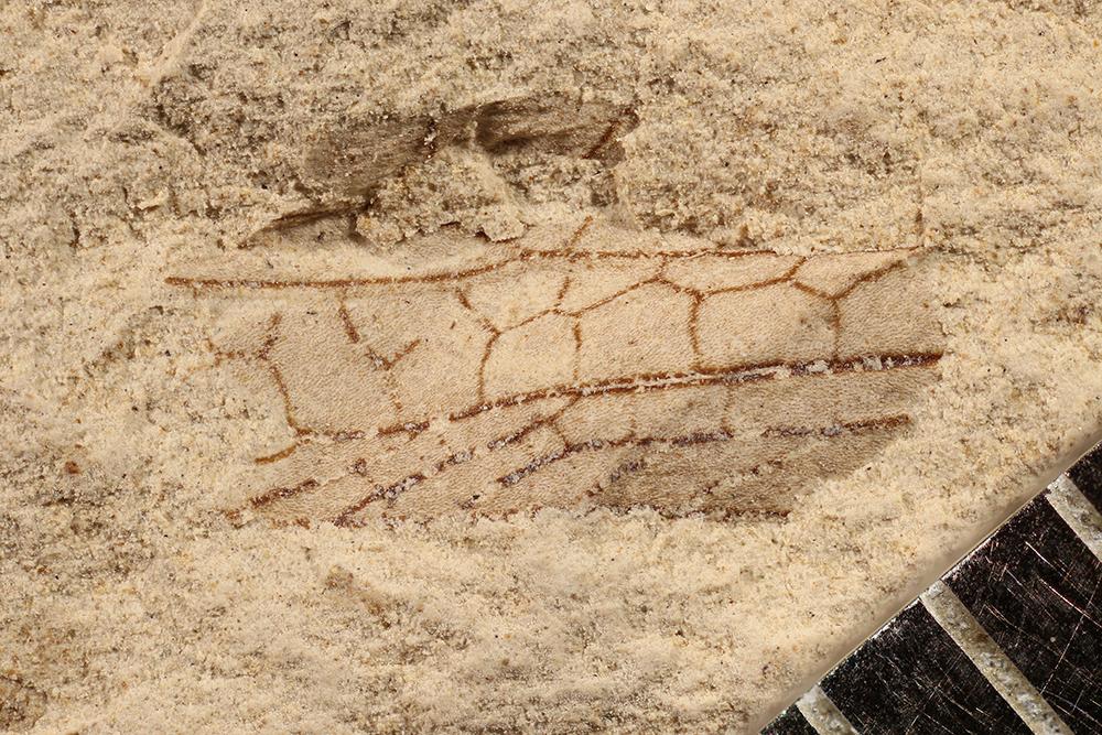 http://mczbase.mcz.harvard.edu/specimen_images/entomology/paleo/large/PALE-17258_Pterygota.jpg