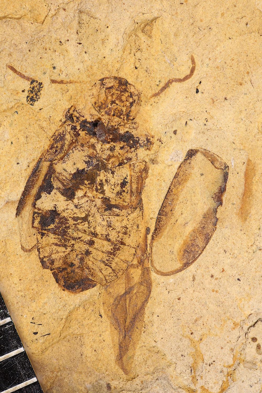 http://mczbase.mcz.harvard.edu/specimen_images/entomology/paleo/large/PALE-1725_Byrrhus_exanimatus_type.jpg