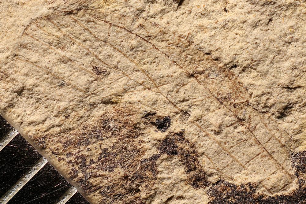 http://mczbase.mcz.harvard.edu/specimen_images/entomology/paleo/large/PALE-17263_Diaphanopterodea_qm.jpg