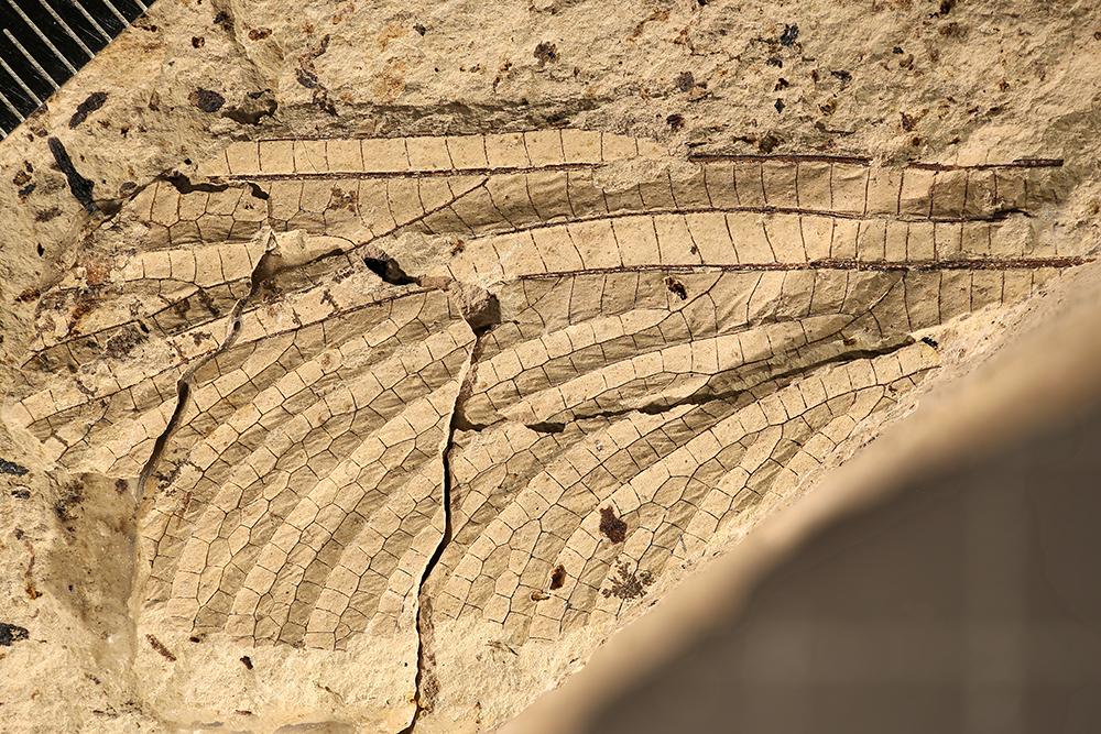 http://mczbase.mcz.harvard.edu/specimen_images/entomology/paleo/large/PALE-17273_Meganisoptera.jpg