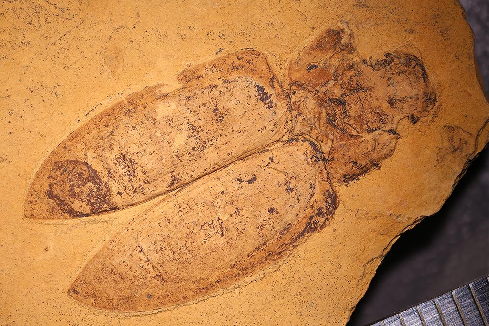 http://mczbase.mcz.harvard.edu/specimen_images/entomology/paleo/large/PALE-1727_Dicerca_bronni_type_1.jpg