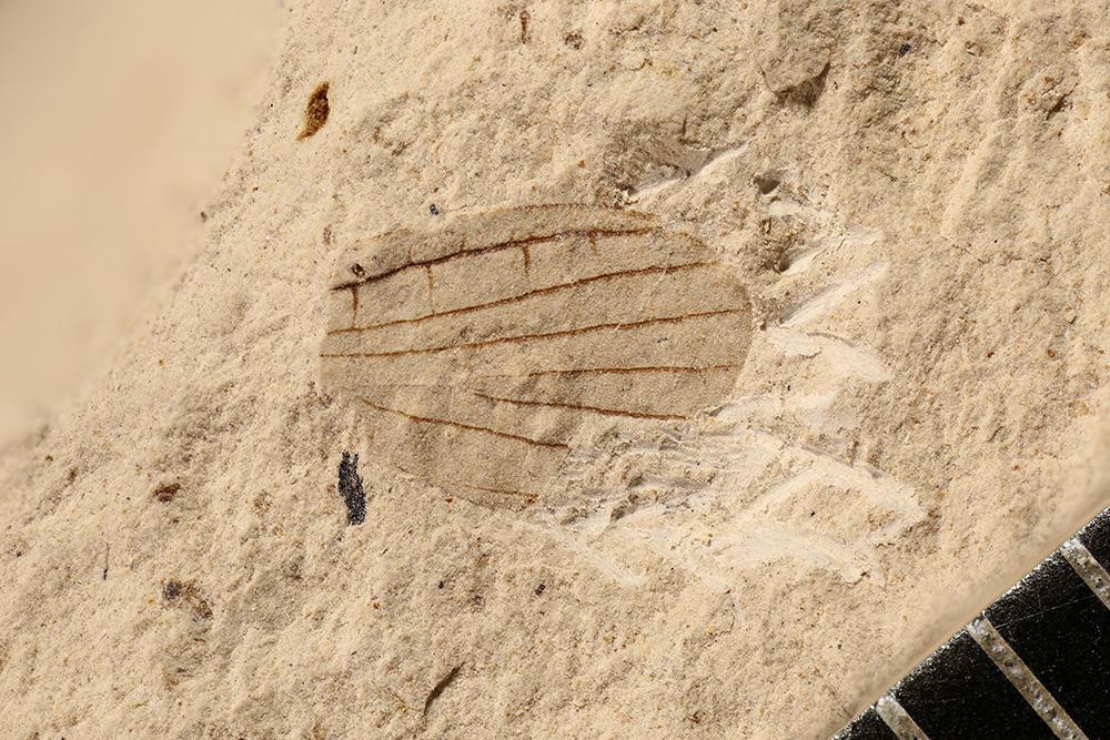 http://mczbase.mcz.harvard.edu/specimen_images/entomology/paleo/large/PALE-17281_Permembiidae_qm.jpg