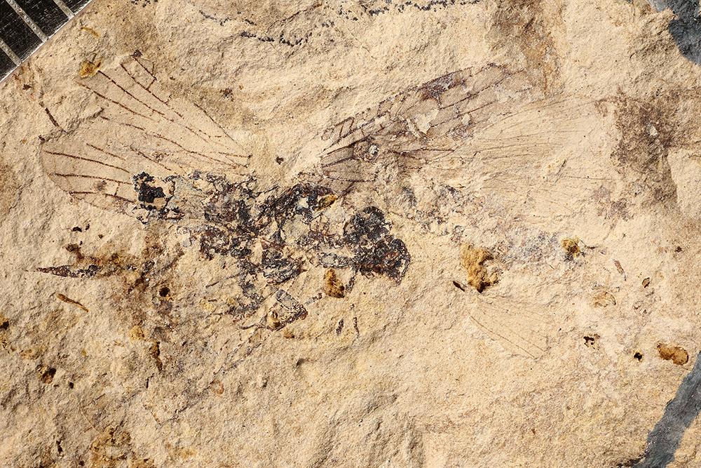 http://mczbase.mcz.harvard.edu/specimen_images/entomology/paleo/large/PALE-17283_Lemmatophora_sp.jpg