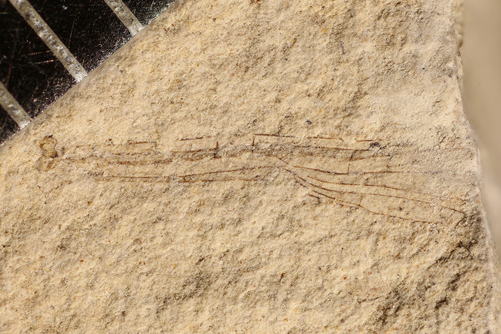 http://mczbase.mcz.harvard.edu/specimen_images/entomology/paleo/large/PALE-17289_Kennedyidae.jpg