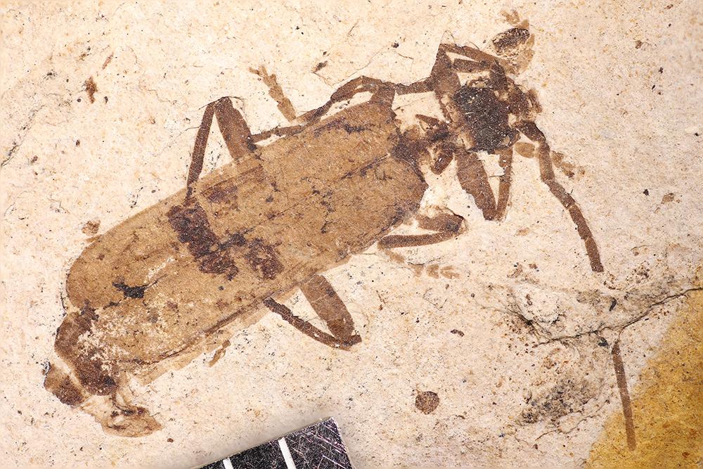 http://mczbase.mcz.harvard.edu/specimen_images/entomology/paleo/large/PALE-1728_Telephorus_exauctaratus_type_2.jpg