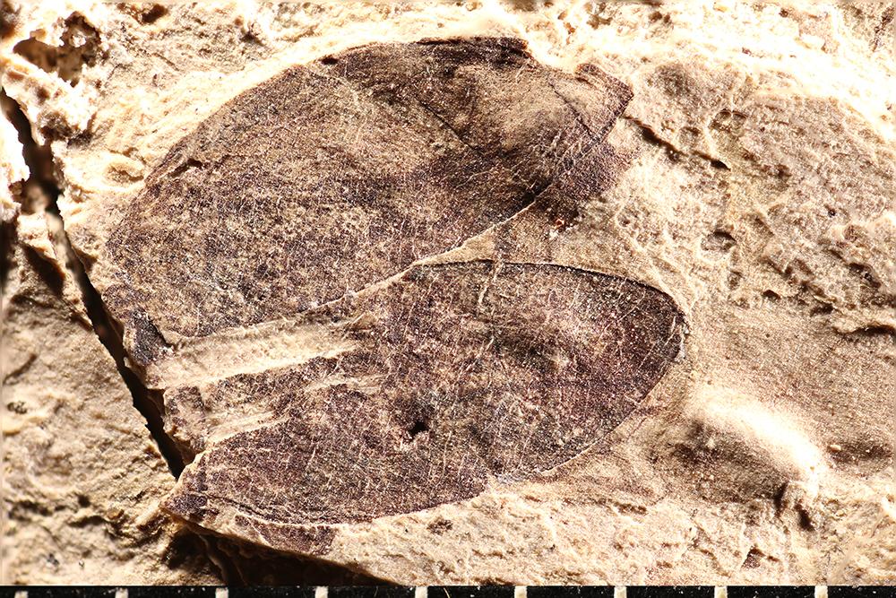 http://mczbase.mcz.harvard.edu/specimen_images/entomology/paleo/large/PALE-1729_Anomala_primigenia_type_1.jpg