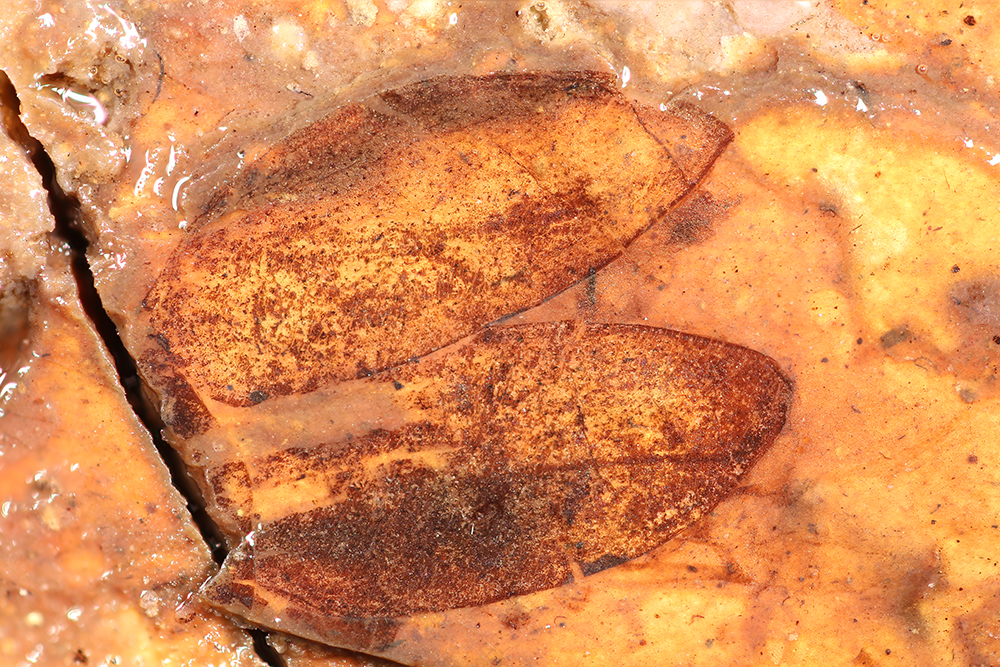 http://mczbase.mcz.harvard.edu/specimen_images/entomology/paleo/large/PALE-1729_Anomala_primigenia_type_2.jpg