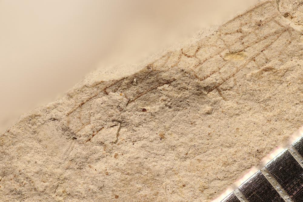 http://mczbase.mcz.harvard.edu/specimen_images/entomology/paleo/large/PALE-17307_Grylloblattodea.jpg