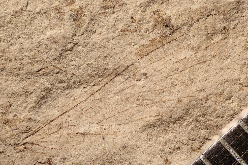 http://mczbase.mcz.harvard.edu/specimen_images/entomology/paleo/large/PALE-17320_Parapriscinae.jpg