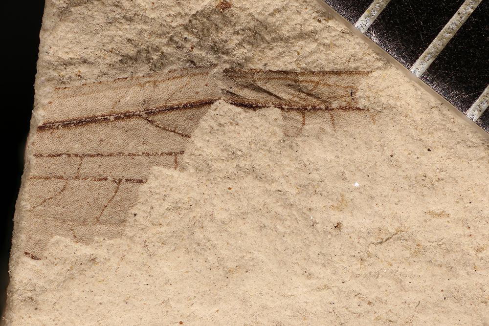 http://mczbase.mcz.harvard.edu/specimen_images/entomology/paleo/large/PALE-17339_Caloneurodea_qm.jpg