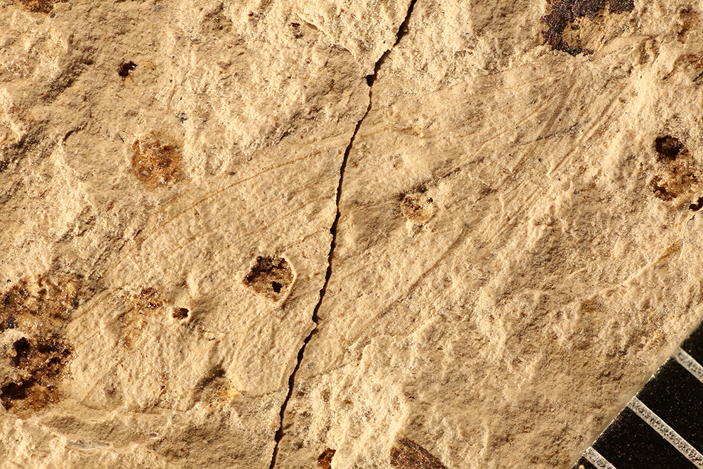 http://mczbase.mcz.harvard.edu/specimen_images/entomology/paleo/large/PALE-17365_Grylloblattodea.jpg