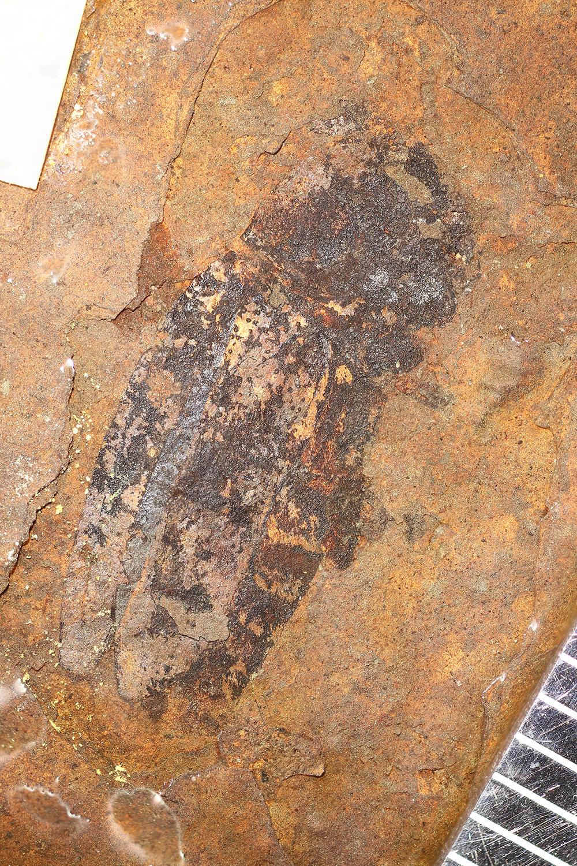http://mczbase.mcz.harvard.edu/specimen_images/entomology/paleo/large/PALE-1738_Uloma_avia_holotype.jpg