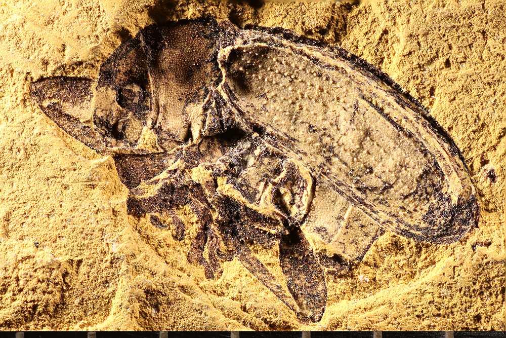 http://mczbase.mcz.harvard.edu/specimen_images/entomology/paleo/large/PALE-1741_Eurychirus_induratus_type.jpg