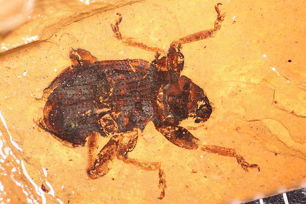 http://mczbase.mcz.harvard.edu/specimen_images/entomology/paleo/large/PALE-1742_Brachymycterus_curculionoides_type.jpg