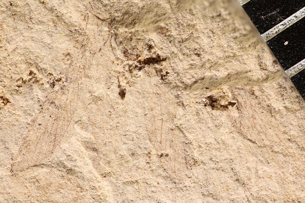 http://mczbase.mcz.harvard.edu/specimen_images/entomology/paleo/large/PALE-17440_Pterygota.jpg