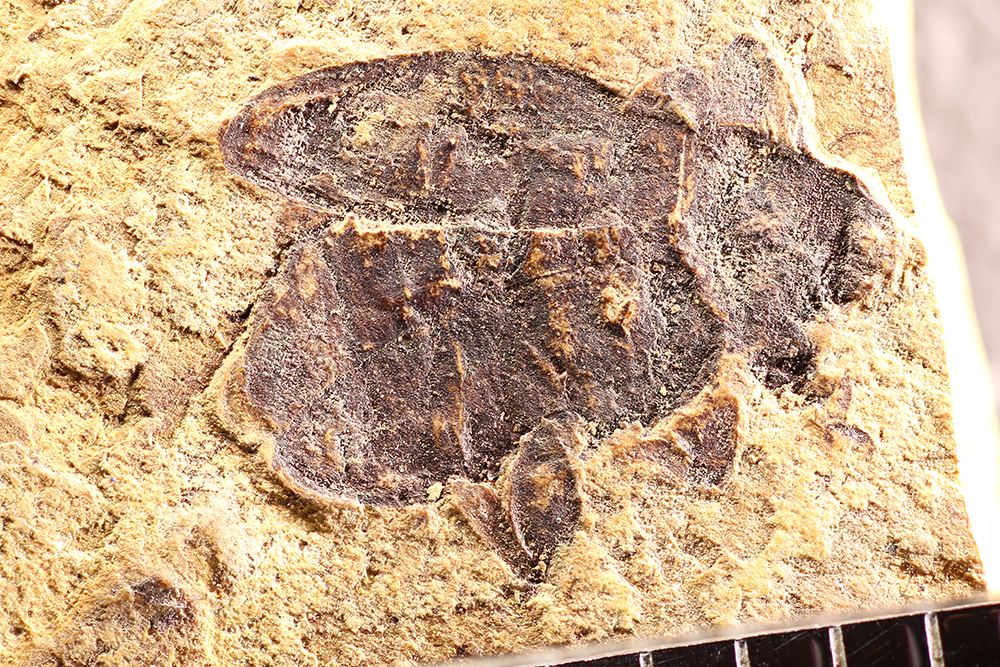http://mczbase.mcz.harvard.edu/specimen_images/entomology/paleo/large/PALE-1746_Brachymycterus_curculionoides_type_1.jpg