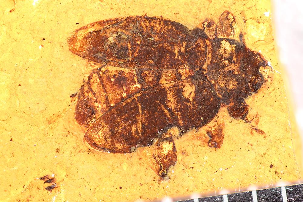 http://mczbase.mcz.harvard.edu/specimen_images/entomology/paleo/large/PALE-1746_Brachymycterus_curculionoides_type_2.jpg
