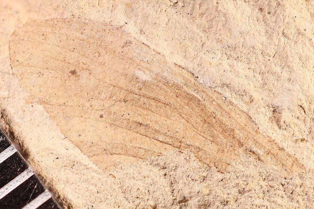 http://mczbase.mcz.harvard.edu/specimen_images/entomology/paleo/large/PALE-17487_Ephemeroptera.jpg