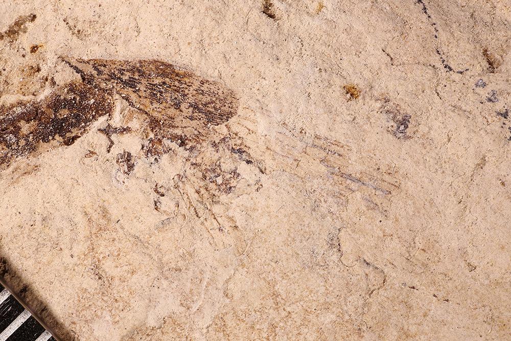 http://mczbase.mcz.harvard.edu/specimen_images/entomology/paleo/large/PALE-17491_Ephemeroptera_qm.jpg