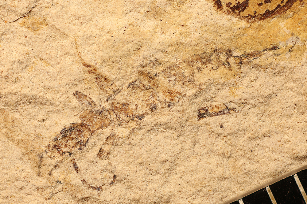 http://mczbase.mcz.harvard.edu/specimen_images/entomology/paleo/large/PALE-17520_Eoblattida.jpg