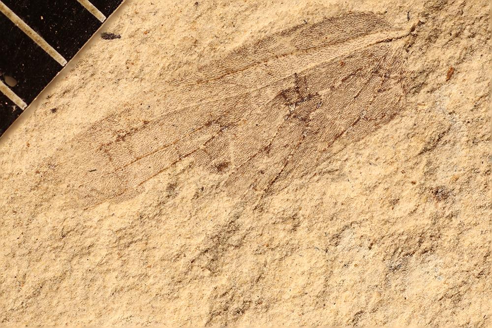 http://mczbase.mcz.harvard.edu/specimen_images/entomology/paleo/large/PALE-17533_Lemmatophora_sp.jpg