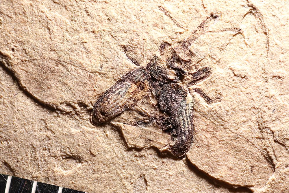 http://mczbase.mcz.harvard.edu/specimen_images/entomology/paleo/large/PALE-1753_Magdalinus_protogenius_type_1.jpg
